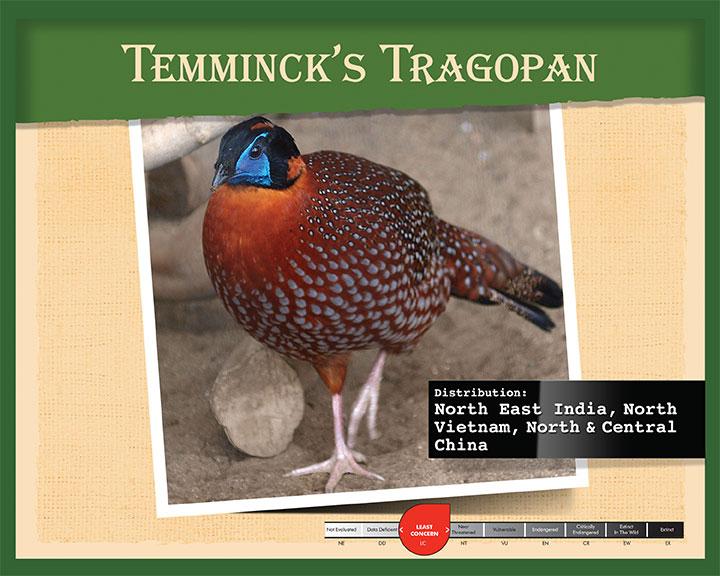 Temminck's Tragopan
