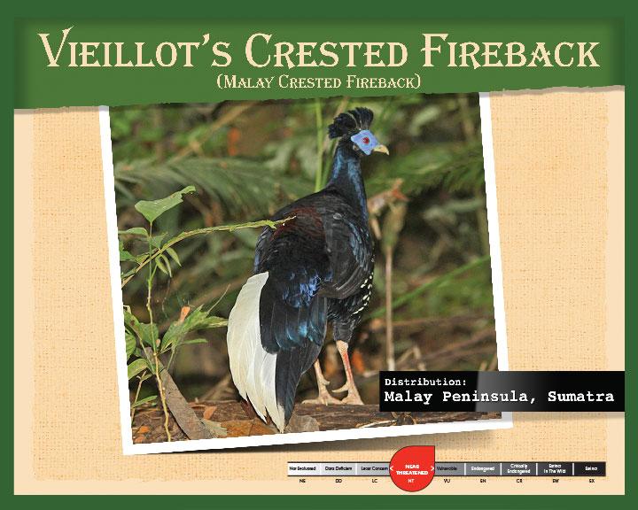 Vieillot's Crested Fireback