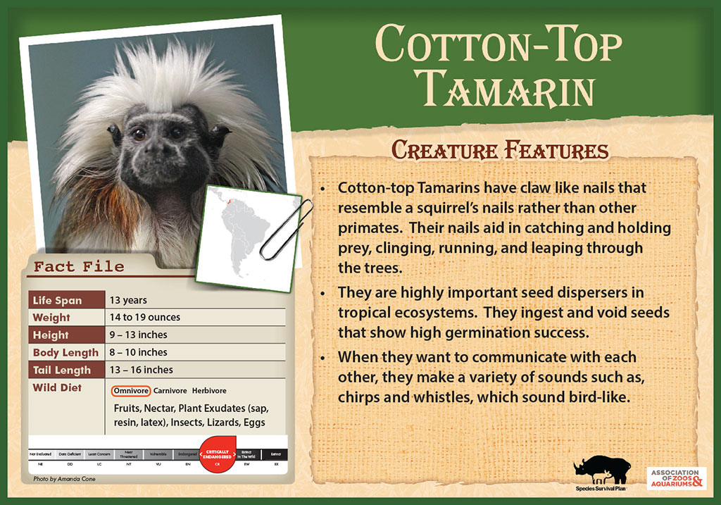 Cotton-Top Tamarin