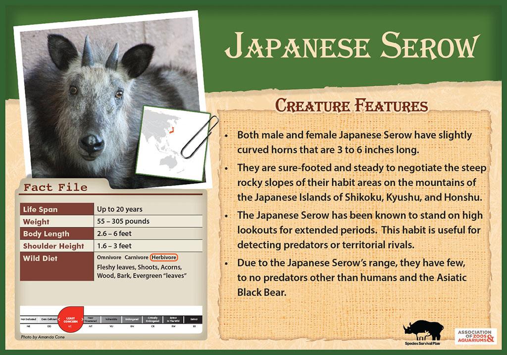 Japanese Serow