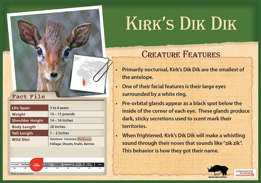 Kirk's Dik Dik