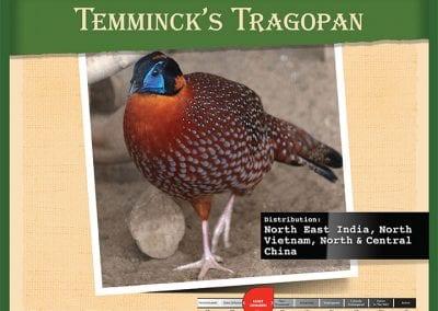 Temmincks Tragopan